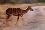 Nyala (Tragelaphus angasii) female walking, Greater Makalali Private Game Reserve, South Africa