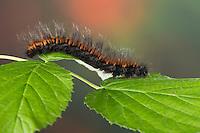 Brombeerspinner, Brombeer-Spinner, Raupe, Macrothylacia rubi, fox moth, caterpillar, Le Bombyx de la ronce, Chenille, Glucken, Lasiocampidae