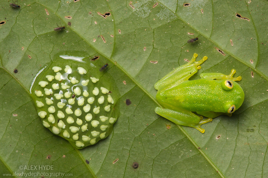 Fleischmann's Glassfrog male {Hyalinobatrachium fleischmanni} attending eggs on the underside of a leaf overhanging a rainforest stream. The male will occasionally sit on the egg mass and empty his bladder to keep the eggs moist. Osa Peninsula, Costa Rica. May.