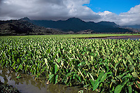 Taro field in Hanalei National Wildlife Refuge, Kauai (Hawaii). Taro is a food of native hawaiians.