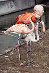 caribbean flamingo mother and baby standing in zoo enclosure, vertical