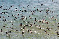 Double-crested Cormorants (Phalacrocorax auritus) gather along Lake Ontario, Canada in mid-September before start of annual southern migration.