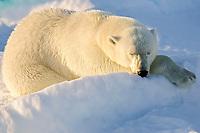 Polar Bear (Ursus maritimus), sleeping, Spitzbergen, Norway, Arctic, Europe
