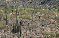 Saguaro, Carnegiea gigantea, and organ pipe cactus, Cereus thurberi. Organ Pipe Cactus National Monument, Arizona.