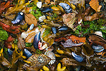 Mussels, seaweed and alder leaves, San Juan Islands, Washington.