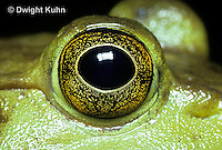 FR08-008e  Bullfrog - close-up of eye - Lithobates catesbeiana, formerly Rana catesbeiana
