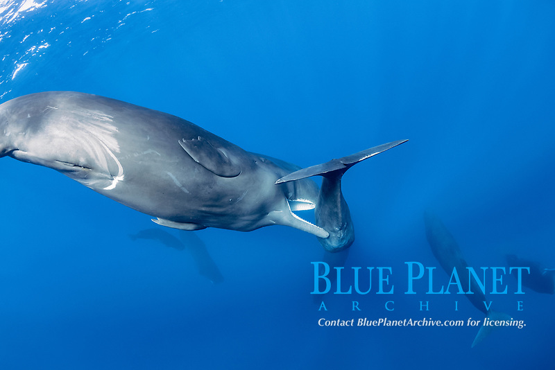 sub-adult sperm whales trying to move away a calf to mate with a female, Physeter macrocephalus, Dominica, Caribbean Sea, Atlantic Ocean, photo taken under permit n°RP 16-02/32 FIS-5