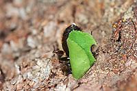 Weidenröschen-Blattschneiderbiene, transportiert ein Blattstück in ihr Nest, Blattschneiderbiene, Blattschneider-Biene, Megachile lapponica, leafcutter bee, Blattschneiderbienen, leafcutter bees