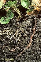1Y05-018x  Earthworm - crawling through soil