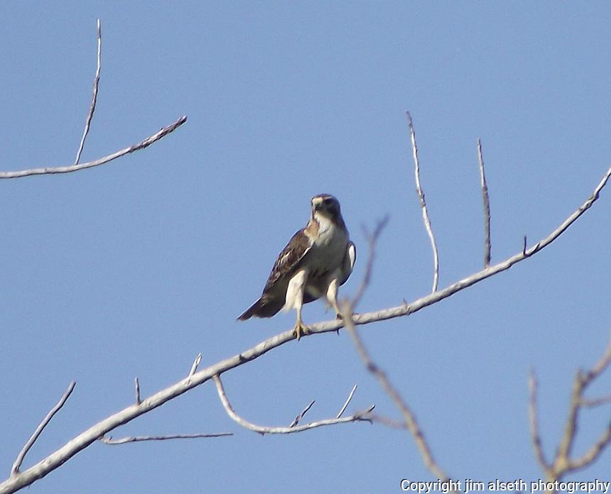 Swainsons Hawk enjoying his vantage from a dead tree, central Alberta.