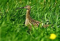 Großer Brachvogel, Brachvogel, Wiesenvogel, Wiesenvögel, Numenius arquata, curlew, Eurasian curlew, Le Courlis cendré