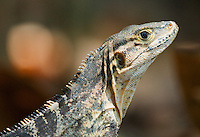 Black spiny-tailed iguana, Ctenosaura similis. Manuel Antonio National Park, Costa Rica
