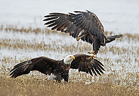 Bald Eagles tussle over food.