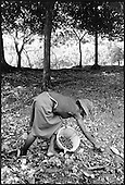 An agricultural worker collects nutmegs on the large, privately-owned Dougaldstone Estate.