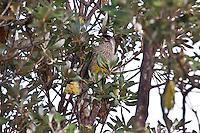 Red Wattlebird, Yuragir NP, NSW, Australia