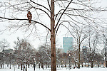 A red-tailed hawk perches on a snowy branch in Boston Common, Boston, MA, USA