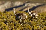 Lesser Rhea (Rhea pennata) pair, Abra Granada, Andes, northwestern Argentina