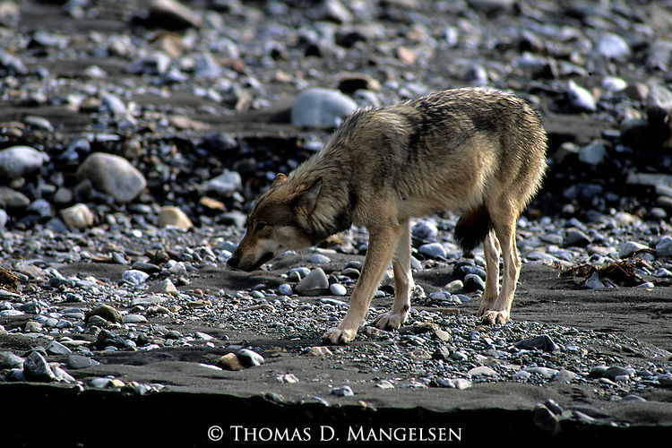 Gray Wolf (Canis lupus) standing on shore. Denali National Park, AK