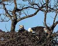 Three adult bald eagles in a cooperative nest, Llano, TX 2003-2007