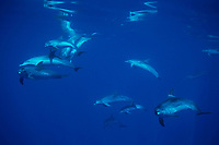 Pod of Atlantic spotted dolphins, Stenella frontalis, Azores Islands, Portugal, North Atlantic Ocean