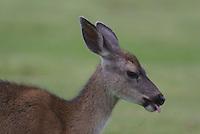 Mule Deer Doe seen up close in California