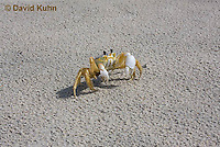 0604-0903  Ghost Crab (Sand Crab) on Beach at Outer Banks in North Carolina, Ocypode quadrata  © David Kuhn/Dwight Kuhn Photography