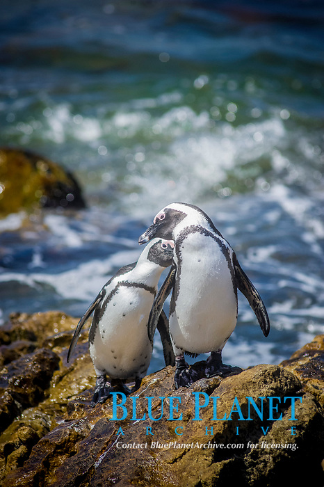 African penguin, jackass penguin, or black-footed penguin, Spheniscus demersus, preening, courtship behavior, Sony Point penguin colony, Betty's Bay, Western Cape, South Africa