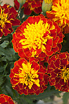 TAGETES 'CRESTA SPRY', FRENCH MARIGOLD