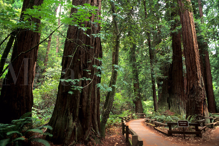 Old  Redwood trees and trail in Muir Woods near San Francisco Californi