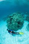 Porites coral head in shallow reef with Katharina Fabricius, Porites sp.