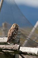 Sumpfohreule sitzt auf Holzgestell mit Fischernetz, Sumpf-Ohreule, Asio flammeus, short-eared owl, Norwegen, Halbinsel Varanger