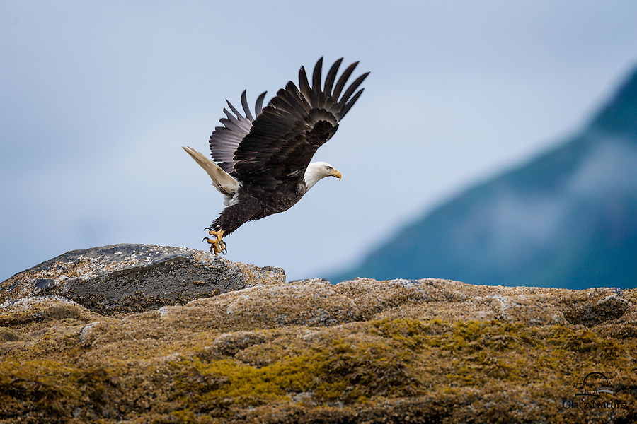 Bald Eagle (Haliaeetus leucocephalus) takes flight from a small island on one of the many bays in Alaska.  Image taken from a boat off the shore of the island.
