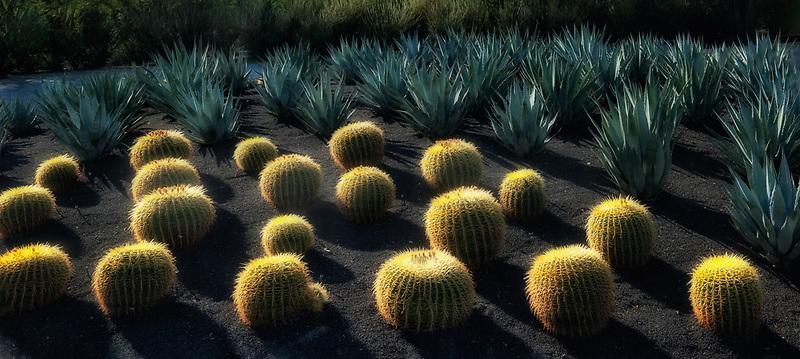 Barrel Cactus. Sunnylands Gardens. Palm Springs, California