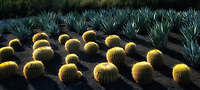 Barrel Cactus. Sunnylands Gardens. Palm Springs, California
