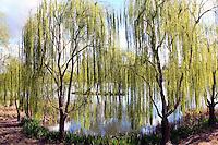 Willow trees alongside pond Redding California