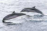 Striped dolphin, stenella coeruleoalba, Maldives, Indian ocean