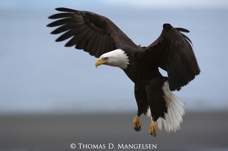 A close-up of a bald eagle in flight in Homer, Alaska.