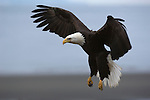A close-up of a bald eagle in flight in Homer, Alaska.