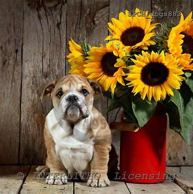 Xavier, ANIMALS, dogs, photos+++++,SPCHDOGS883,#a# Hunde, perros