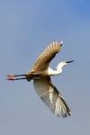 Egret in Sunshine, Back Bay, CA.