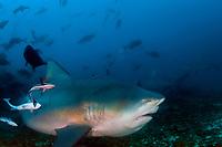 Bull shark, Carcharhinus leucas, Beqa, Fiji, Melanesia, South Pacific Ocean