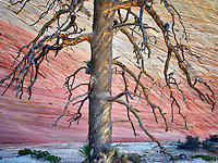 Dead ponderosa pine tree and Checkerboard Mesa. Zion National Park, Utah.