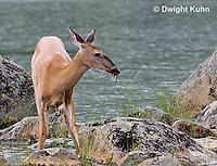 MA11-518z  Northern (Woodland) White-tailed Deer eating pond plants, Odocoileus virginianus borealis