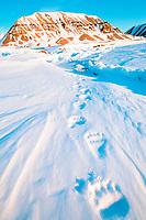 polar bear, Ursus maritimus, footprints in the snow, Spitzbergen, Norway, polar bear, Ursus maritimus