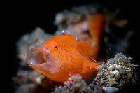 Yawning Painted Frogfish (Antennarius pictus) in the Lembeh Strait / Sulawesi / Indonesia