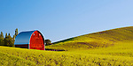 Red barn sits alone in field of lentils.