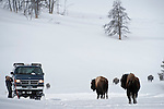 American Bison (Bison bison) and tourist vehicle. Hayden Valley, Yellowstone National Park, Wyoming, USA. January.