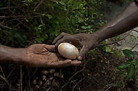 Aboriginals collect saltwater crocodile eggs to stay in touch with their culture.  Eggs are harvested and sometimes sold to farms.