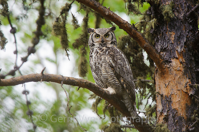 Pale adult Great Horned Owl (Bubo virginianus). Cold Lake Provincial Park, Alberta, Canada. May.
