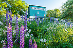 Lupines and daisies at the Opera House in Stonington, Maine, USA
